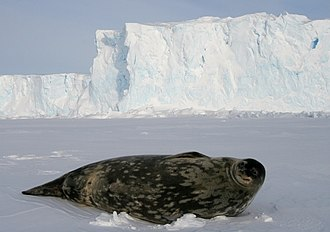Weddell seals (Leptonychotes weddellii) are the most southerly of Antarctic mammals. Phoque de Weddell - Weddell Seal.jpg
