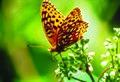 Photo of the Week - Aphrodite fritillary on milkweed (4440022713).jpg