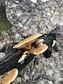 Phyllotopsis nidulans 121176309.jpg