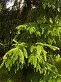 Picea abies f. aurea.JPG
