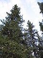 Picea glauca Denali.jpg