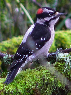 (Downy Woodpecker)