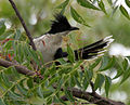 Pied Cuckoo (Clamator jacobinus) Im IMG 9555.jpg