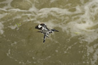 Pied kingfisher (Ceryle rudis) from Kallanai JEG9781.jpg