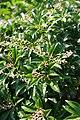 Pieris japonica Dorothy Wycoff 6zz.jpg