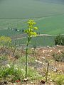 PikiWiki Israel 17232 Plants of Israel.jpg