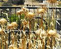 PikiWiki Israel 20004 Plants of Israel.jpg