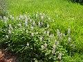 PikiWiki Israel 4170 lupinus palaestinus.jpg