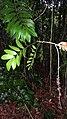 Pilocarpus grandiflorus Engl. - Flickr - Alex Popovkin, Bahia, Brazil (6).jpg