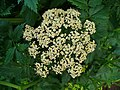 Pimpinella major 002.JPG