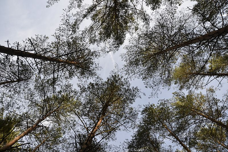 File:Pine trees from below.JPG