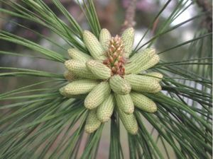 Pinales - Male cones on a pine branch