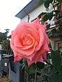 Pink Rose 20.jpg