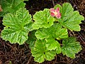 Pinkish cloudberry - geograph.org.uk - 469102.jpg