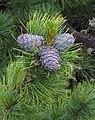 Pinus cembra RF.jpg