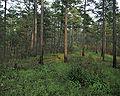 Pinus echinata USFWS.jpg