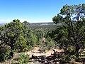 Pinus edulis kz08.jpg