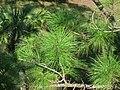 Pinus elliottii (slash pine) (Fort Myers, Florida, USA) 1 (25800488345).jpg