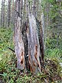 Pinus sylvestris old stump.jpg