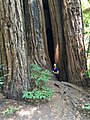 Pioneer Tree, Samuel P. Taylor State Park, California.jpg