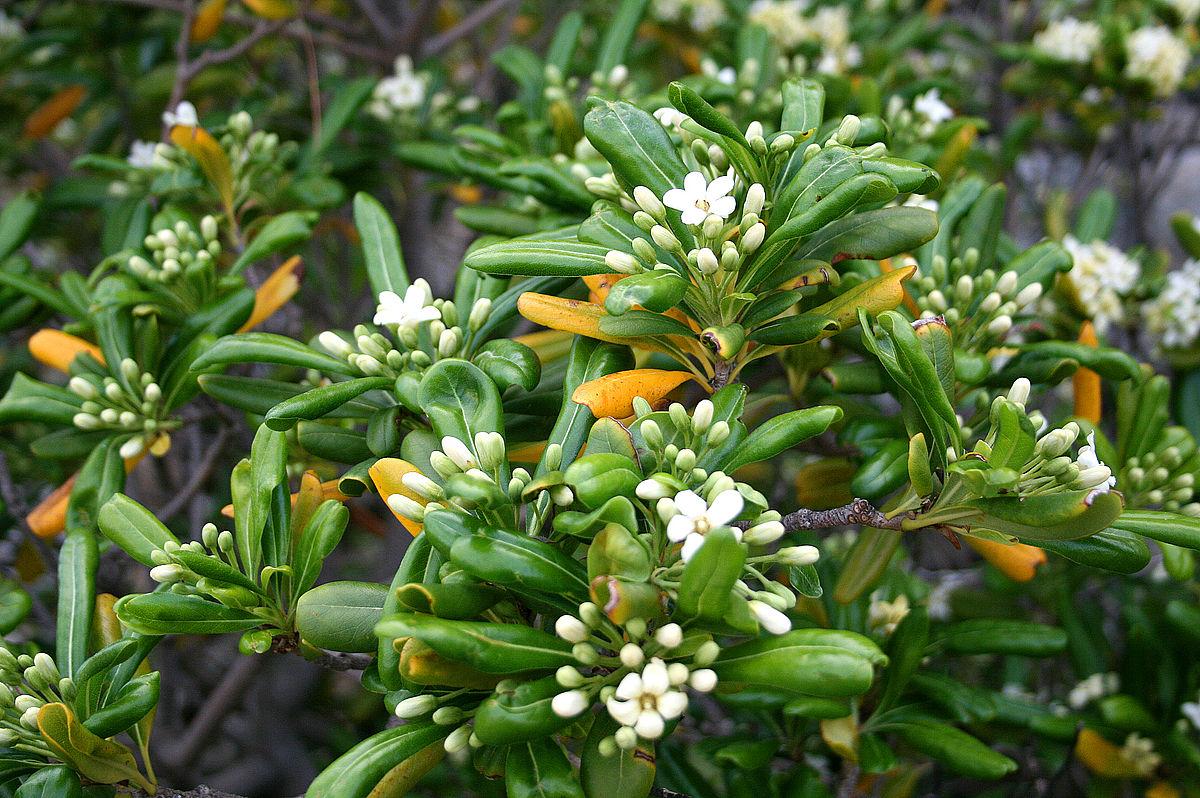 Pittosporum tobira wikipedia - Piante da giardino ...