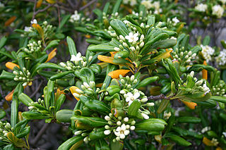 <i>Pittosporum tobira</i> species of plant