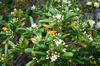 Pittosporum tobira - Leaves and flowers of P. tobira
