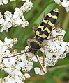 Plagionotus floralis up2.JPG