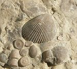 Plagiostoma striatum u. Trochiten 240410.jpg