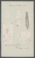 Planaria lactea - - Print - Iconographia Zoologica - Special Collections University of Amsterdam - UBAINV0274 105 09 0025.tif