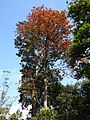 Plant Canarium strictum tree with leaf flush DSCN0171.jpg