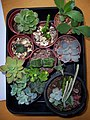 Plant swap for ilenuca (5772028449).jpg