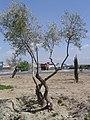 Plantación de olivos - panoramio.jpg