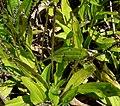 Plantago australis 3.jpg