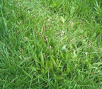 Plantago lanceolata5 ies.jpg