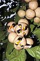 Plants Chisocheton cumingianus fruit IMG 8252 aril seed.jpg