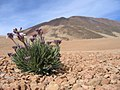 Plants between rocks on Teide - 002.JPG