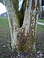 Platane in Bad Kissingen.jpg
