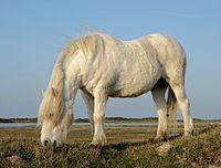 Platier oye poney highland bis.JPG