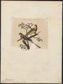 Platycercus eximius - 1833-1839 - Print - Iconographia Zoologica - Special Collections University of Amsterdam - UBA01 IZ18500005.tif