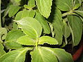Plectranthus barbatus-yercaud-salem-India.JPG