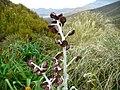 Pleurophyllum.jpg