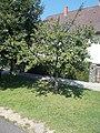 Plum tree, 2020 Sárvár.jpg