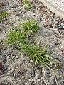 Poa annua (subsp. annua) sl1.jpg