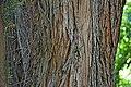 Podocarpus totara 01.jpg