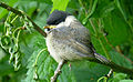 Poecile montanus, Willow Tit, Weidenmeise.JPG