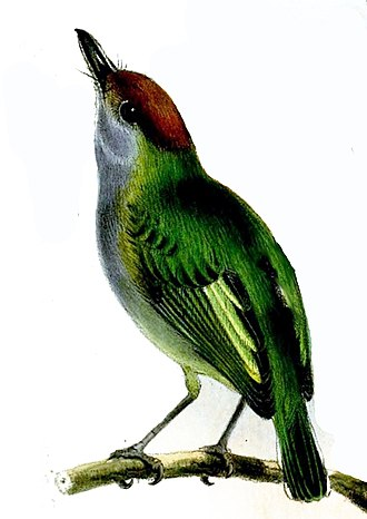1858 in birding and ornithology - Black-and-white tody-tyrant Proceedings of the Zoological Society of London for 1857 published in 1858