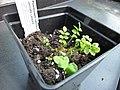 Polemonium caeruleum young plant 4.JPG