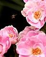 Pollen collector (2335517631).jpg