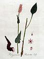 Polygonum bistorta — Flora Batava — Volume v4.jpg
